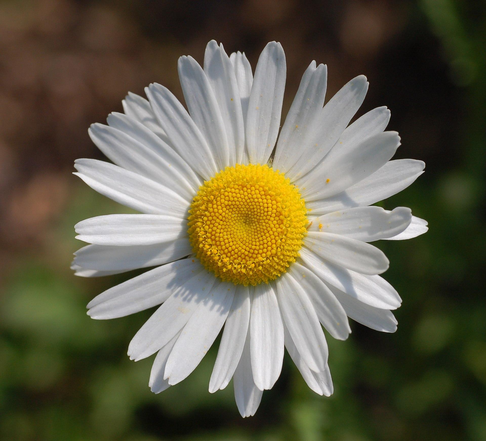 Prästkrage (blomma) âWikipedia