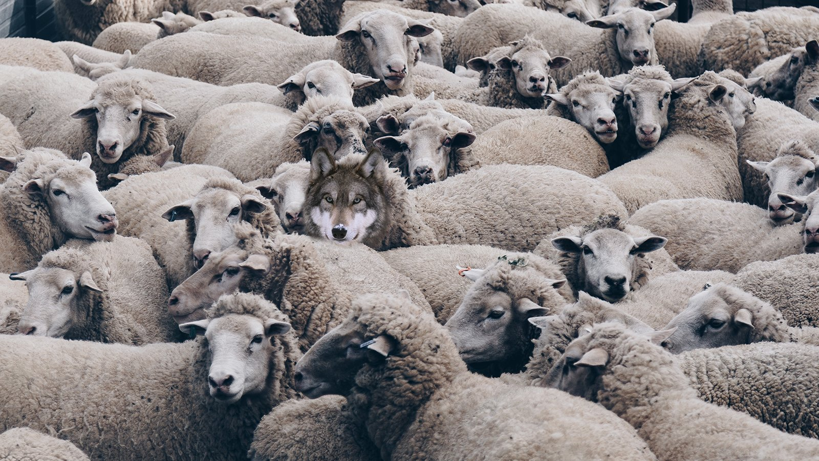 Wolf In Sheep's Clothing Wallpapers - Wallpaper Cave