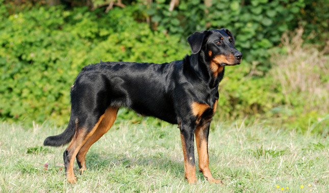 Beauceron Info, Temperament, Puppies, Pictures