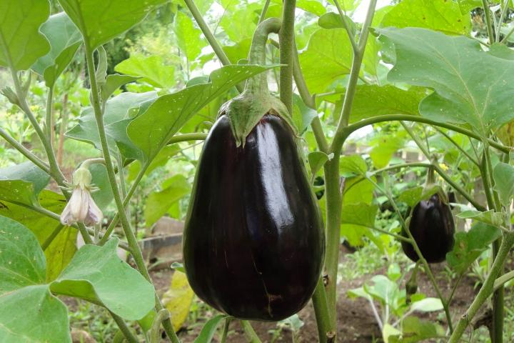 Eggplant: Planting, Growing, and Harvesting Eggplants ...