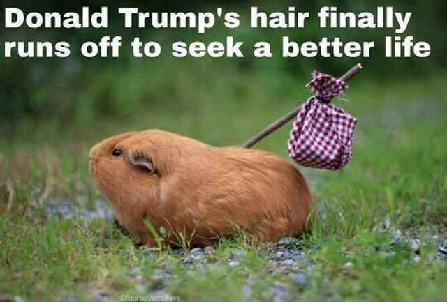 https://images.duckduckgo.com/iu/?u=https%3A%2F%2Fwww.askideas.com%2Fmedia%2F48%2FFunny-Donald-Trump-Meme-Donald-Trumps-Hair-Finally-Runs-Off-To-Seek-A-Better-Life-Picture.jpg&f=1