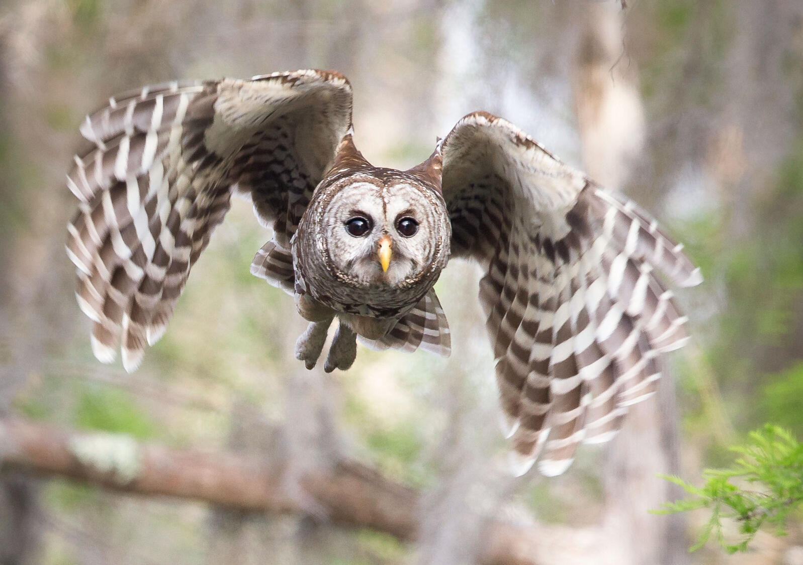 Hear the Many Different Hoots of the Barred Owl | Audubon