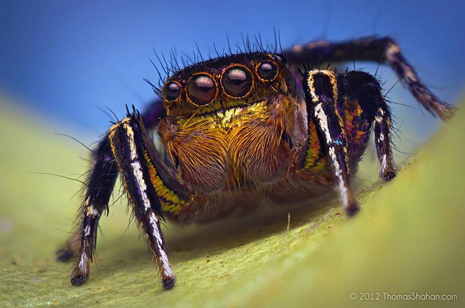 Stunning Macro Photos Of Jumping Spiders by Thomas Shahan ...
