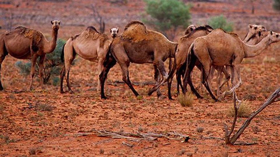 Aussie bushfires: More than 10,000 camels to be killed because they drink too much water…