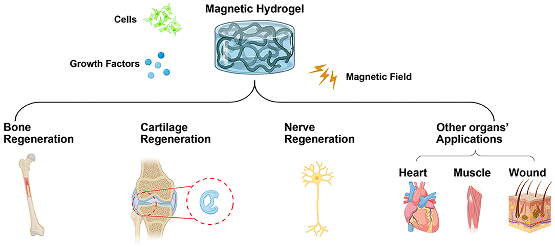 Frontiers   Recent Advances on Magnetic Sensitive Hydrogels in Tissue Engineering   Chemistry