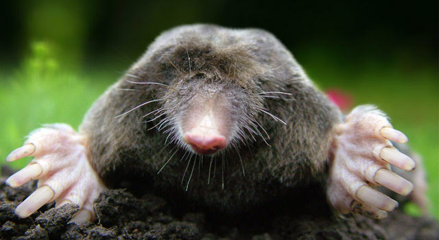 Mole Animal Facts And Pictures