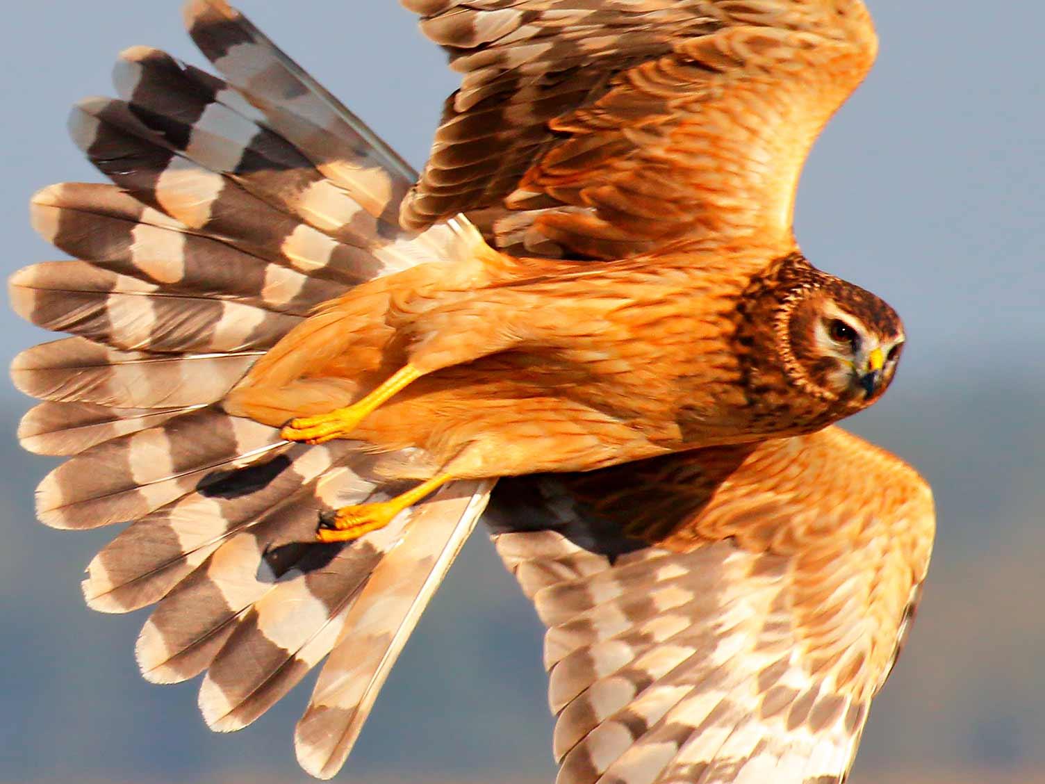 A guide to British birds of prey | lovethegarden