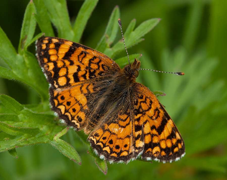 Butterfly Life List | List of Butterflies