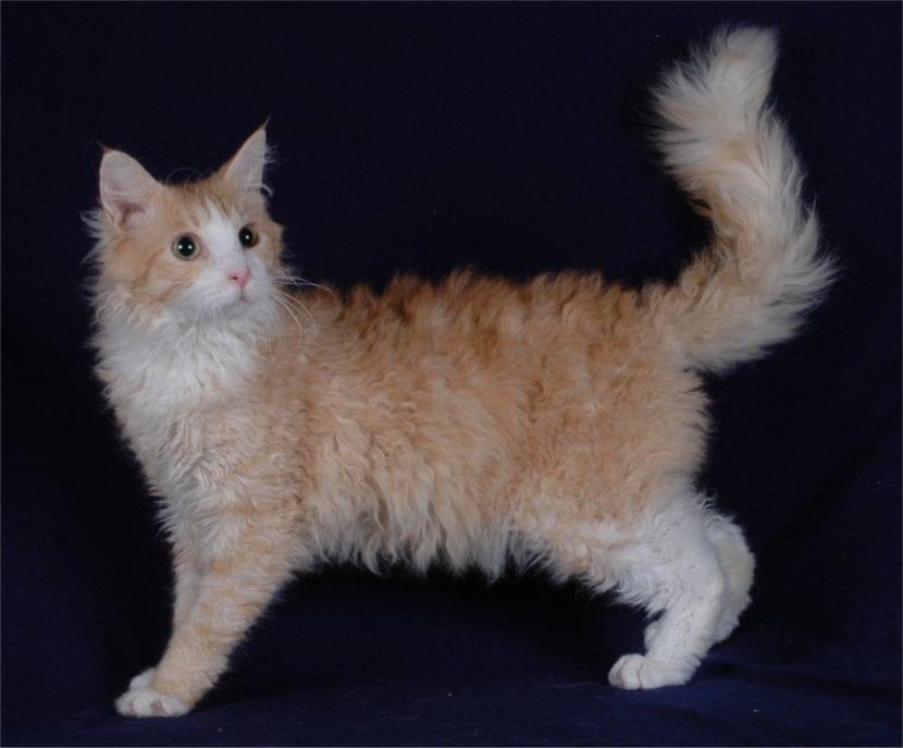 El cariñoso gato LaPerm