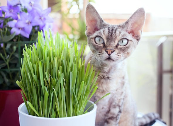 Grass For Your Cat