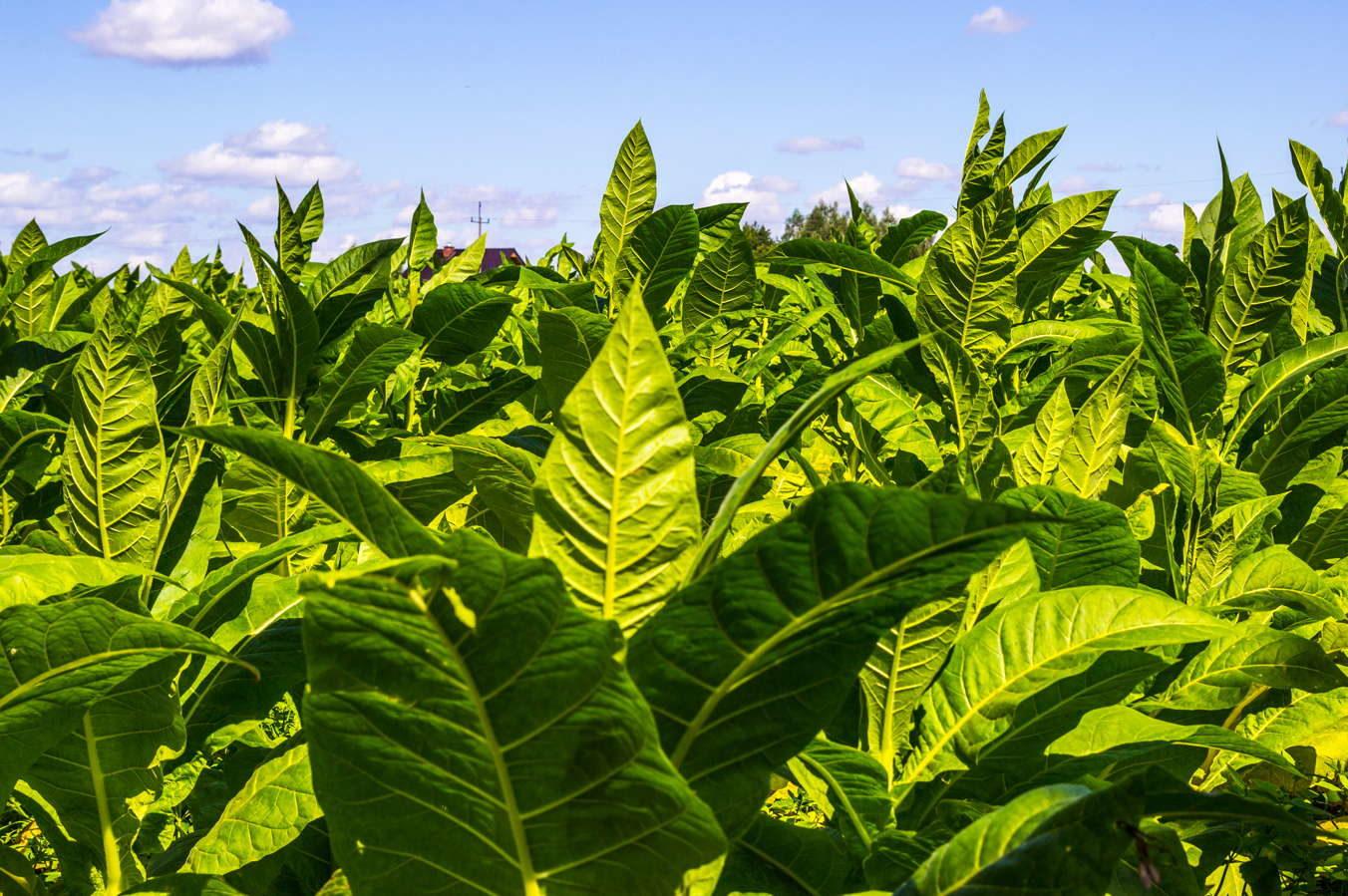 Tabakpflanze: Tipps zum Pflanzen, Pflegen & Überwintern