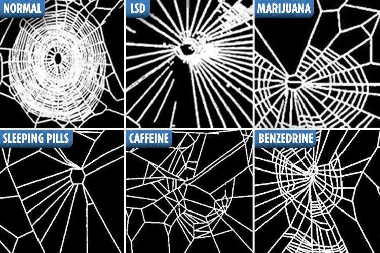 Nasa gave spiders DRUGS – how their webs changed when high ...