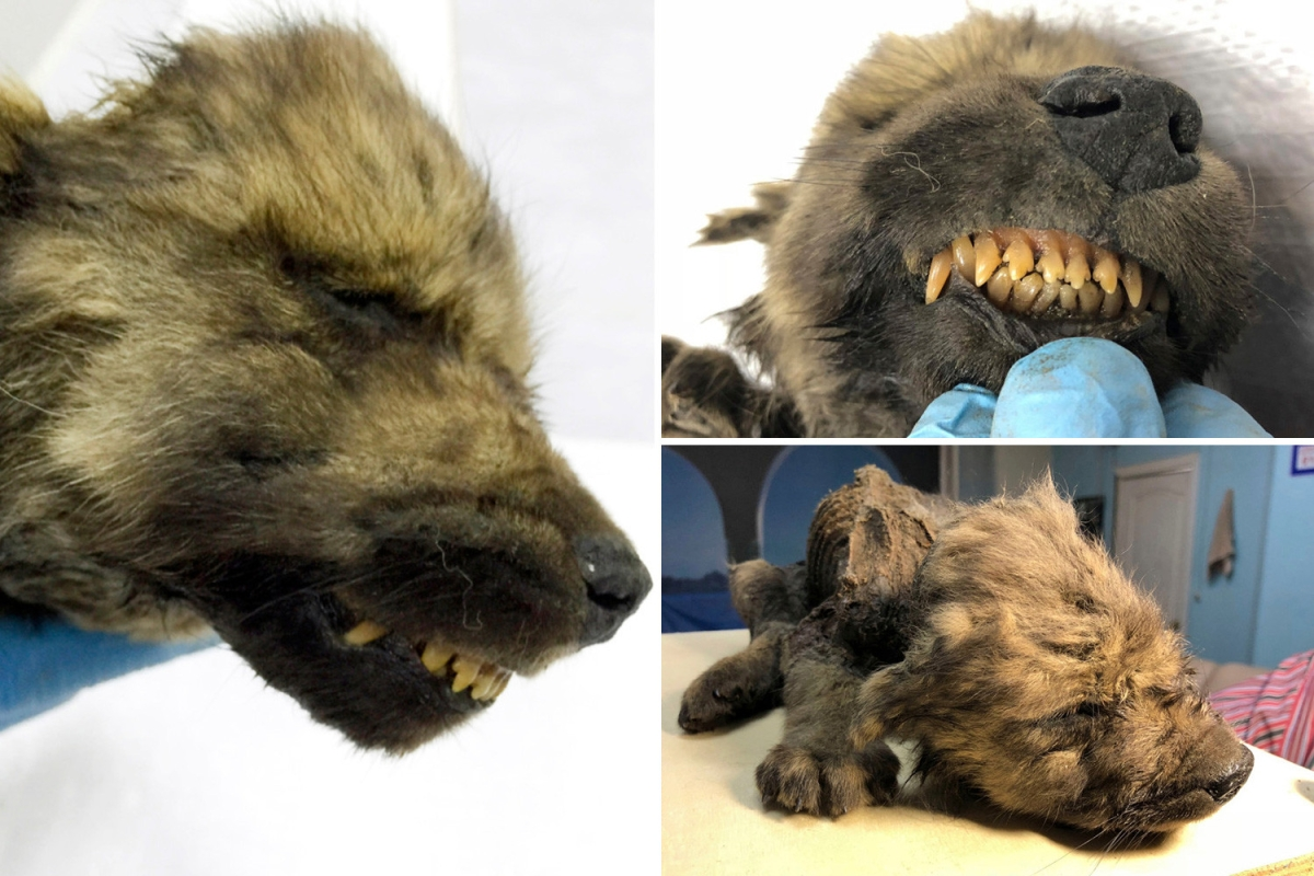 18,000-year-old puppy found in permafrost with whiskers and teeth…