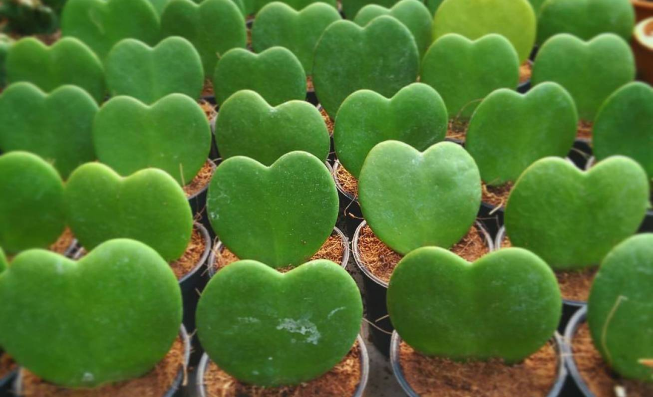 Heart shaped plants for your Valentine
