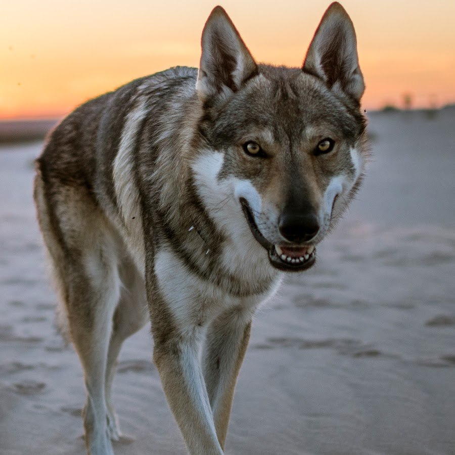 Czechoslovakian Wolfdog Australia - YouTube
